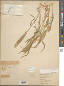 view Hordeum murinum subsp. glaucum (Steud.) Tzvelev digital asset number 1