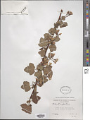 view Ribes pringlei Rose digital asset number 1