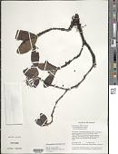 view Retiniphyllum scabrum var. ayangannense Steyerm. digital asset number 1