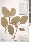 view Ficus subcordata Blume digital asset number 1