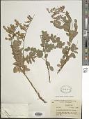view Hedysarum occidentale Greene digital asset number 1