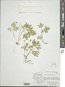 view Adoxa moschatellina L. digital asset number 1