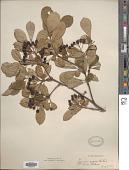 view Aronia melanocarpa (Michx.) Elliott digital asset number 1
