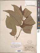 view Annona fendleri (R.E. Fr.) H. Rainer digital asset number 1