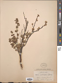 view Betula nana subsp. exilis L. digital asset number 1