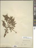 view Thymelaea hirsuta (L.) Endl. digital asset number 1
