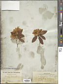 view Rhododendron keiskei Miq. digital asset number 1