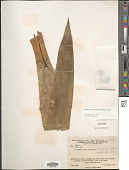 view Mezobromelia capituligera (Griseb.) J.R. Grant digital asset number 1