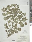 view Symphoricarpos albus (L.) S.F. Blake digital asset number 1