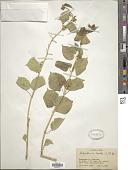 view Marsdenia erecta Aiton digital asset number 1