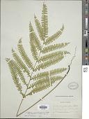 view Lindsaea quadrangularis subsp. subalata K.U. Kramer digital asset number 1