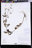 view Acmella paniculata (Wall. ex DC.) R.K. Jansen digital asset number 1