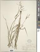 view Scleria terrestris (L.) Fassett digital asset number 1
