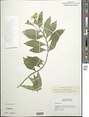 view Helenium autumnale L. digital asset number 1