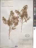 view Chenopodium incisum Poir. digital asset number 1