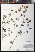 view Trifolium hybridum L. digital asset number 1