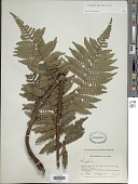 view Cyathea lasiosora (Mett. ex Kuhn) Domin digital asset number 1