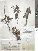 view Commiphora leptophloeos (Mart.) J.B. Gillett digital asset number 1