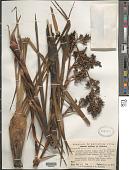 view Brocchinia acuminata L.B. Sm. digital asset number 1