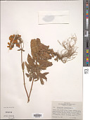 view Calceolaria integrifolia digital asset number 1