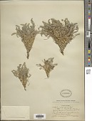 view Astragalus arequipensis Vogel digital asset number 1
