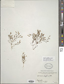 view Canscora diffusa (Vahl) Aiton ex Roem. & Schult. digital asset number 1