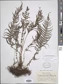 view Amauropelta consanguinea (Fée) comb. nov., ined. 2015 digital asset number 1