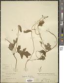 view Caiophora buraeavii Urb. & Gilg digital asset number 1
