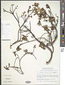 view Ledodendron vanhoeffeni Dalgaard & Fredskild digital asset number 1