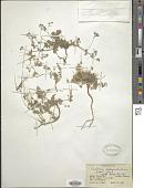 view Erodium pulverulentum Willd. digital asset number 1