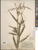 view Brachyelytrum aristosum (Michx.) P. Beauv. ex Trel. digital asset number 1
