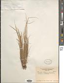 view Mesosetum loliiforme (Hochst. ex Steud.) Chase digital asset number 1