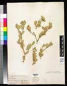 view Simmondsia chinensis (Link) C.K. Schneid. digital asset number 1