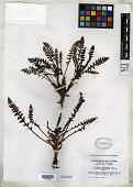view Pedicularis semibarbata var. charlestonensis Pennell & Clokey digital asset number 1