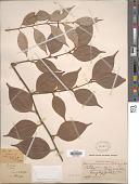 view Neocinnamomum delavayi (Lecomte) H. Liu digital asset number 1