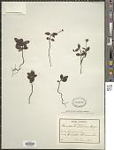 view Chimaphila japonica Miq. digital asset number 1