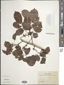 view Pterocarpus santalinoides L'Hér. ex DC. digital asset number 1