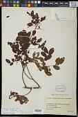 view Dalbergia pluriflora Baker f. digital asset number 1