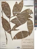view Heisteria macrophylla Oerst. digital asset number 1