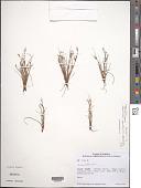 view Juncus bufonius L. digital asset number 1