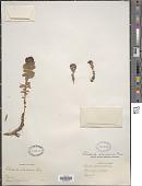 view Sedum integrifolium (Raf.) A. Nelson digital asset number 1