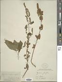 view Pogostemon benghalensis (Burm. f.) Kuntze digital asset number 1