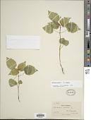 view Circaea alpina L. subsp. alpina digital asset number 1
