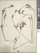 view Rhynchospora odorata C. Wright ex Griseb. digital asset number 1