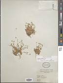 view Stellaria longipes Goldie digital asset number 1