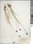 view Carex nova L.H. Bailey digital asset number 1