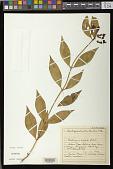 view Aeschynanthus wallichii Aiton digital asset number 1