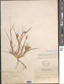 view Cenchrus longispinus (Hack.) Fernald digital asset number 1