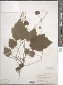 view Tiarella cordifolia var. typica digital asset number 1
