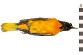 view Baltimore Oriole, Northern Oriole digital asset number 1